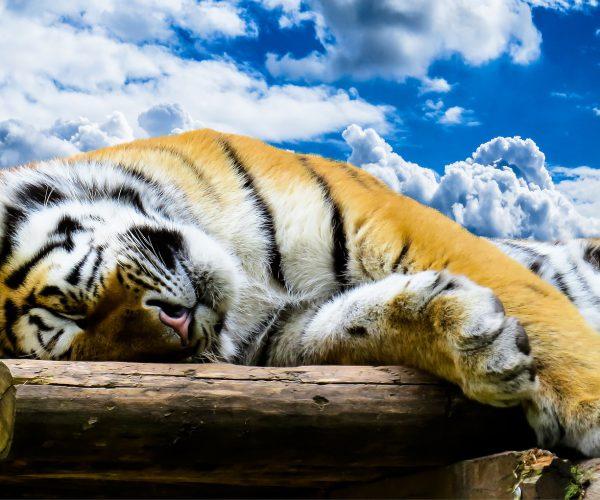 tiger-1637009_1920